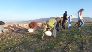 Cueillette du Safran